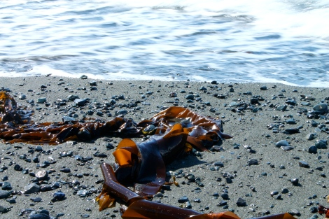 Bull Kelp on Fourth of July Beach.