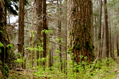 June ferns in a Spruce-Hemlock forest.