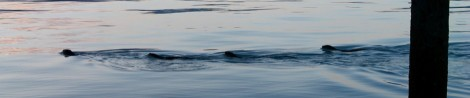 Sea otters heading into town.