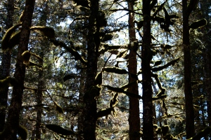 "Spruce forest, the so-called ""climax community"" in coastal Alaska."