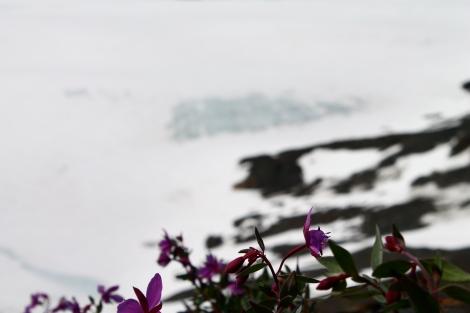 Dwarf fireweed (Chamerion latifolium) flowering next to the Harding Icefield.