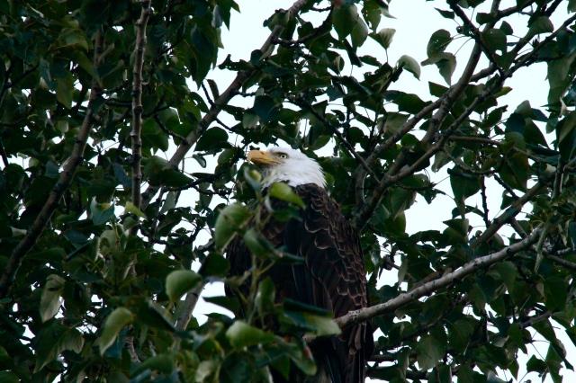 Bald eagle resting in a tree in Seward.