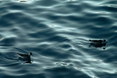 Red-necked phalaropes (Phalaropus lobatus) foraging at twilight.